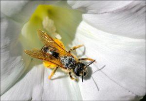 une-abeille-butineuse