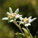 édelweiss