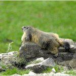 marmotte au repos