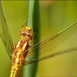 libellule orthrétum femelle
