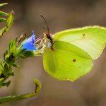 papillon pièride