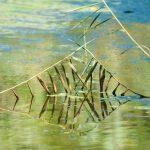 roseaux à l'étand de moïsan