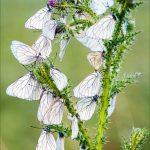 papillons gazés