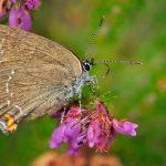 papillon thécla du chêne